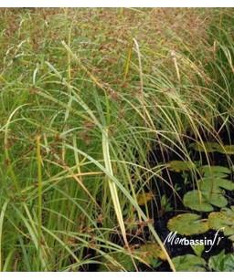 Cyperus longus