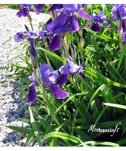 copy of Iris kaempferi...